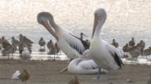 Three Pelicans Join A Large Flock Of Godwits On The Beach