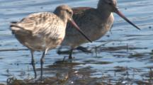 Bar-Tailed Godwits Forage In Shallow Water