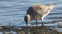 A Bar-Tailed Godwit Forages In Shallow Water On Seaweed