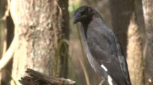 A Pied Currawong, Perched On A Branch, Flies Off