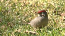 A Red-Browed Finch Forages On A Meadow