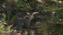 A Flock Of Red-Browed Finches Take A Bath In A Pond