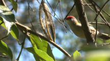 A Red-Browed Finch Collects Plant Fiber For Nest Building