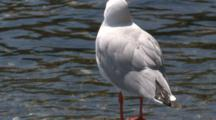 A Silver Gull Observes, While Perched Near Water
