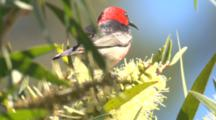 A Honeyeater Feeds On Bottlebrush And Flies Off
