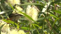 A Male Scarlet Honeyeater Feeds On Bottlebrush And Leaves