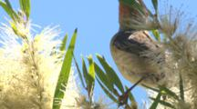 A Female Scarlet Honeyeater Feeds On Bottlebrush And Leaves