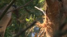 A Noisy Friarbird Collects Bark Fibre For Nest Building