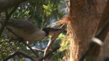 A Noisy Friarbird Collects Bark Fibre For Nest Building