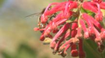 A Honey Bee Forages On A Grevillea Blossom