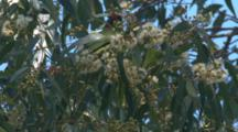 A Musk Lorikeet Forages On The Blossoms Of A Gum Tree