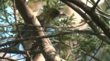 An Olive-Backed Oriole Flies Off Its Perch In An Acacia Tree
