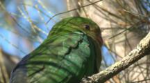 A Young King-Parrot Is Ready For A Nap On A Casuarina Tree