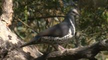 A Wonga Pigeon Is Perched High Up In A Tree