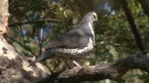 A Wonga Pigeon High Up In A Tree Leaves Its Perch