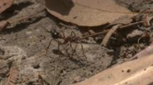 A Lizard Sees A Bull Ant, But Does Not Tackle It