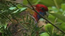 A Young Rosella Forages On An Acacia Tree