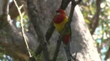 An Eastern Rosella Takes A Quiet Break On A Vertical Branch
