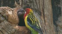 A Rosella Chick In Its Tree Home Is Fed By Its Dad