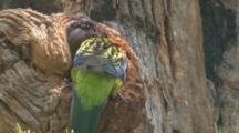 A Rosella Arrives At Its Nest Hole And Regurgitates Food For Its Chick