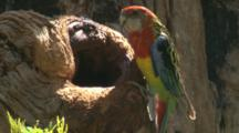 A Female Rosella Arrives At The Nest Hole To Check On Its Offspring