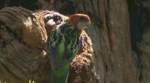 A Female Rosella Slips Into The Nest Hole To Check On Its Offspring