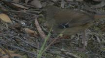 A White-Browed Scrubwren Forages On The Ground Cover