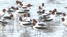Red-Necked Avocets Congregate On A Beach