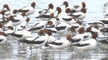 A Large Flock Of Red-Necked Avocets Congregate On A Beach