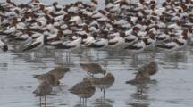 A Large Flock Of Avocets And Godwits Congregate On A Beach