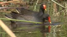 Two Dusky Moorhen Feed On Aquatic Plants