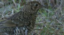 Bassian Thrushes Have A Somewhat Erratic Foraging Pattern