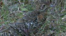 A Bassian Thrush Forages On The Margin Of A Forest