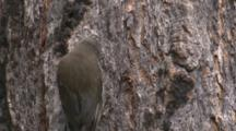 A Treecreeper Wishes To Dislodge An Insect From A Hole In The Bark