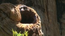 A Treecreeper Finds A Grub In The Nest Cavity Of An Eastern Rosella