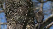 A Treecreeper Tries To Find Invertebrates On A Casuarina Tree