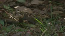 An Eastern Whipbird Tries To Unearth Edibles On The Ground