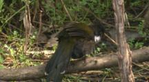 A Whipbird Has A Bath, Preens Nearby, And Leaves