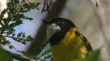 A Golden Whistler Sings Its Song, Perched On An Acacia Tree