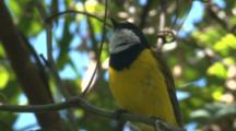 A Golden Whistler, Perched On A Branch, Sings Its Song