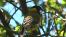 A Golden Whistler, Perched On A Branch, Sings Its Song And Leaves