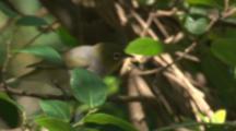 zosteropidae