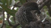 Little Wattlebird Preens Its Feathers On A Banksia Tree