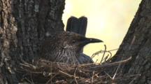 Little Wattlebird In Its Nest Incubates Eggs