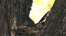 Little Wattlebird, Inconspicuously Positioned In Nest, Incubates Eggs