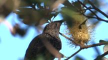 Little Wattlebird Forages On A Banksia Bloom And Leaves