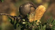 Little Wattlebird Forages On A Banksia Cone