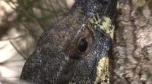 A Lace Monitor Climbs Up A Tree