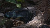 A Lace Monitor Looks Back