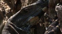 A Lace Monitor On A Tree Trunk Blinks With An Eye